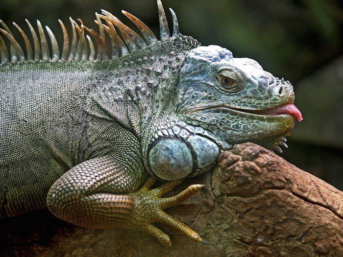 LizardSquadiguana-50198_1280