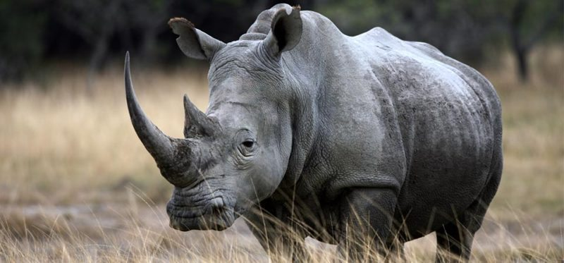 Drones and Remote Cameras Look to Protect Rhinos From Poaching