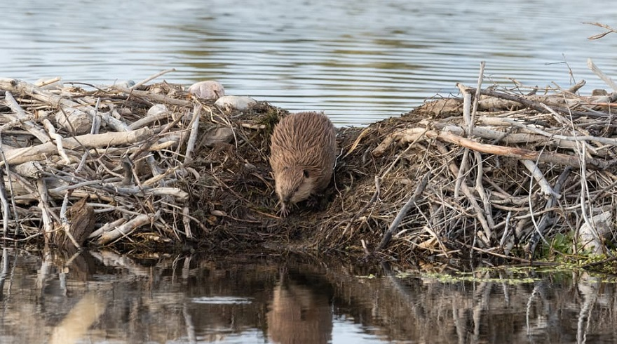 Internet Outtage in Canada Blames on Beavers
